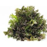 Salat, ''Crispy'' rot